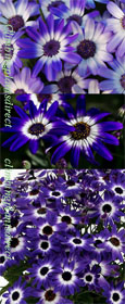 Senetti Magenta Bi-colour GARDEN READY Plants - DELIVERY -  MAY ONWARDS