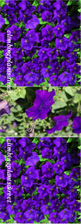 5 X Surfinia Trailing Petunia Blue Plug Plants - DELIVERY - MAY ONWARDS